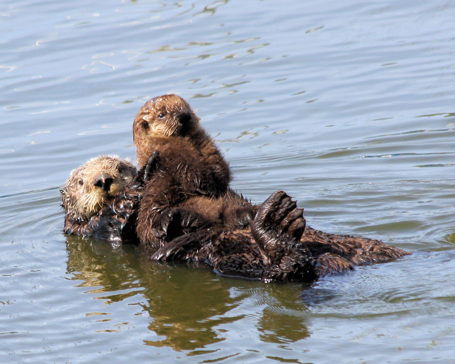 Sea otter and pup, by Chuck Rogers