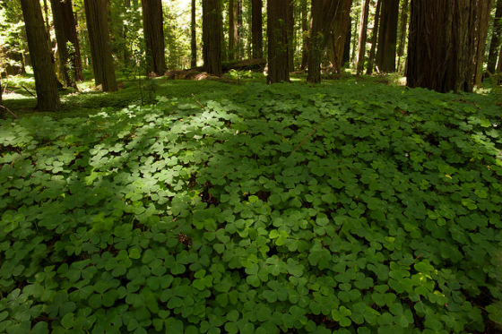 Redwoods with redwood sorrel (photo by Justin Kern)
