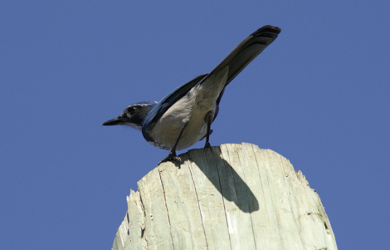 Scrub jays commentary bristles with metaphor, according to Mark Twain. (photo by Amit Kotwal)