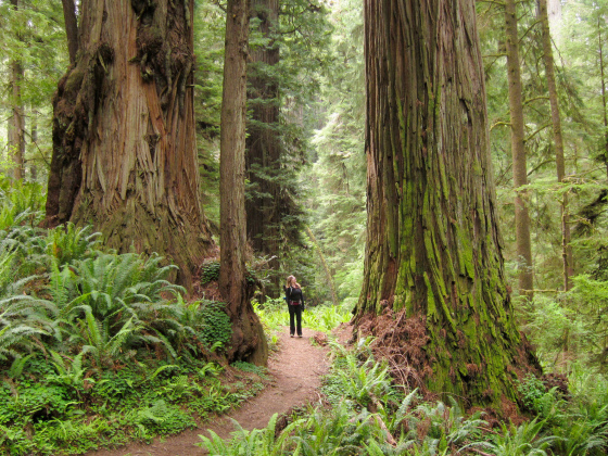 On the Boy Scout Tree Trail, Jedediah Smith Redwoods State Park (photo by Miguel Vieira)