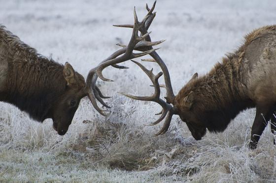 Roosevelt Elk, Redwood National Park (photo by Steve Dunleavy)