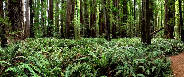 Stout Grove redwoods (photo by Ray Bouknight)