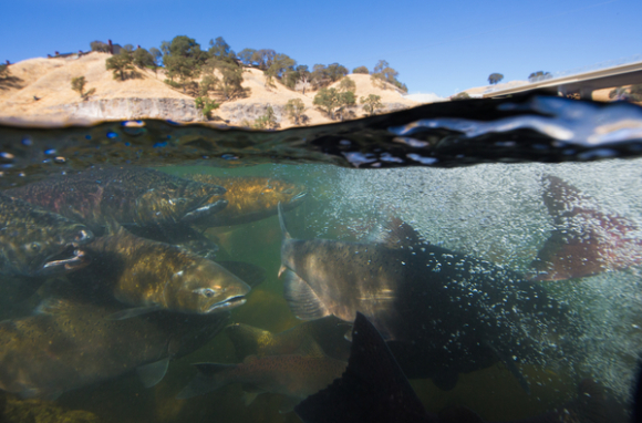 Salmon need cool, fresh water to survive and thrive. (DWR photo by Carl Cosras)