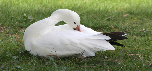 We are birds. We are grass.We are human beings. (photo of Snow Goose preening by devra)