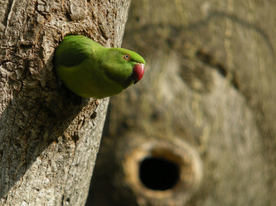 Here's Waldo! Actually, this free-living rose-ringed parakeet lives in the wilds of Brussels. (photo by Frank Vasson)