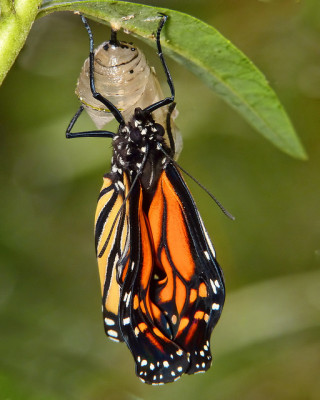 Monarch emerging from its milkweed chrysalis (photo by Sid Mosdell)