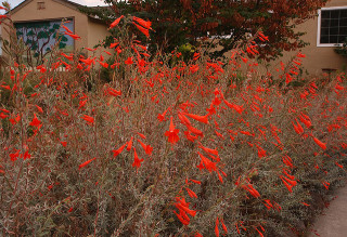 California fuchsia is striking in the landscape, and a hummingbird favorite. (photo by JKehoe Photos)