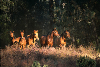 Wild horses at the sanctuary live in natural groups, roaming freely on 5,000 acres. (photo © Katey Barrett)