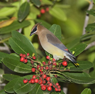 Cedar Waxwing enjoys toyon berries (photo by Kevin Cole)